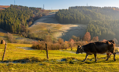 rufous cow near the fence on hillside on foggy morning. beautiful countryside scenery near the spruce forest