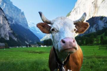 Cow on Alps. Jungfrau region, Switzerland