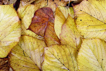 Fallen leaves on the ground in a forest in fall