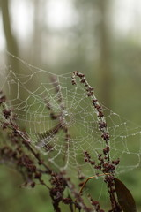 Wet spiderweb in a forest in fall