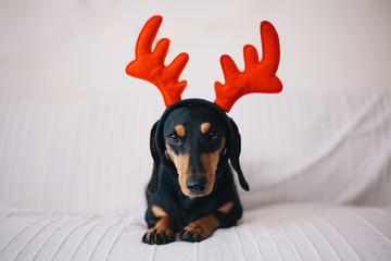 Adorable black dog wearing reindeer horns