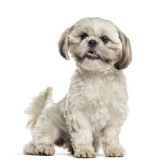Shih tzu sitting and wagging tail, isolated on white