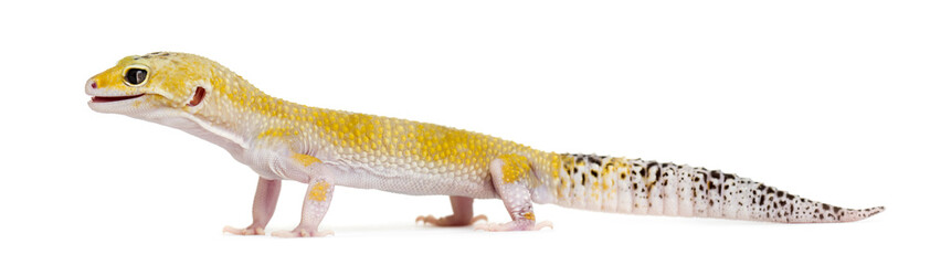 Yellow gecko standing, isolated on white Wall mural