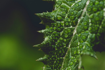 dandelion leaf after the rain