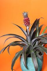 Ananas comosus plant in a pot
