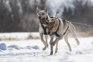 Dog sledding race in Quebec, Canada
