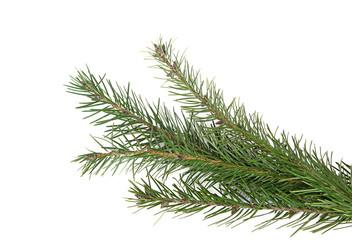 Branches de sapin de Noël