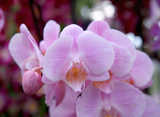 pink orchid flower close up