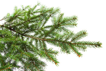 Green Pine tree branches  isolated on white closeup
