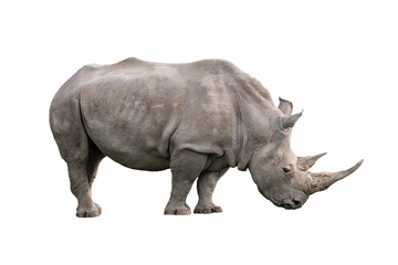 white rhinoceros ceratotherium simum isolated on white background