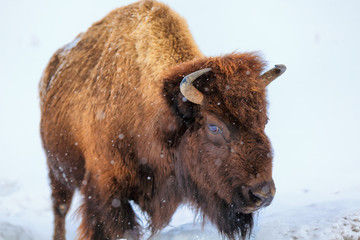 Fototapeta A buffalo squares off in Yellowstone National Park, Wyoming