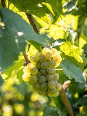 Grappe de raisin blanc - Vigne