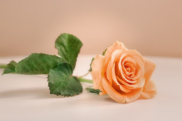Apricot rose on white table against trendy color background