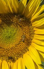 Honeybee collects pollen from sunflower