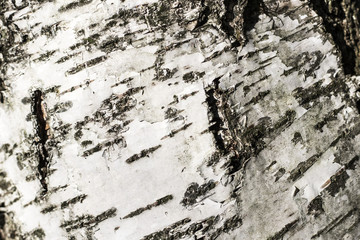 birch bark close up for background