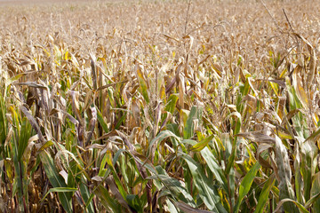 field of ripe corn