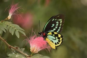 Teal motyl na różowy kwiat