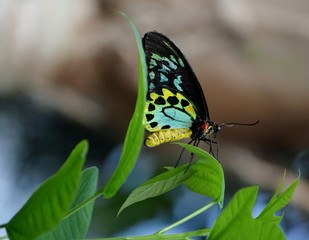 Teal Butterfly on Curved Leaf