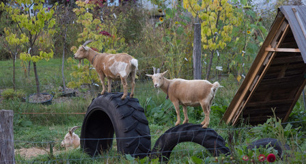 Three goats with two of the climbing on large tires. Fall foliage on the farm is in the background.