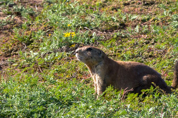 Black-tailed Prairie Dog in Wichita Mountains Wildlife Refuge in Oklahoma