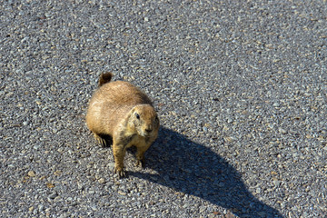 Black-tailed Prairie Dog begs on a road in Wichita Mountains Wildlife Refuge in Oklahoma