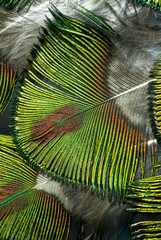 Macro photo of beautiful and luminous green peacock feathers.