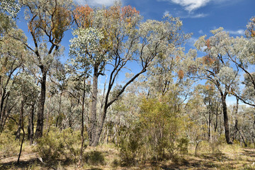 Box-Ironbark forest