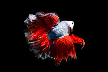 Fancy betta fish, siamese fighting fish on black background isolated