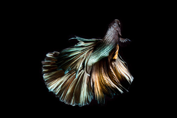 Tail of Copper betta fish, siamese fighting fish on black background isolated