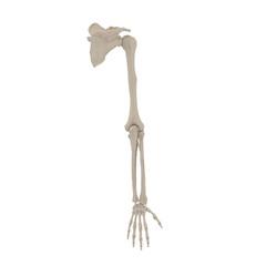 Human Arm Bones on white. 3D illustration