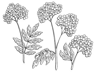 Valerian graphic black white isolated sketch illustration vector