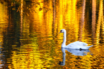 Swan on a lake in a park in autumn.