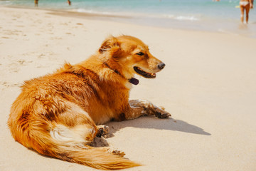 The red dog lies on the beach, enjoying the sun and the weather.