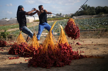 Palestinians harvest dates from palm trees in Deir al-Balah, in the central Gaza Strip