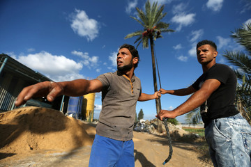 Palestinians harvest dates from a palm tree in Deir al-Balah, in the central Gaza Strip