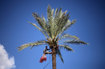 A Palestinian farmer harvests dates from a palm tree in Deir al-Balah, in the central Gaza Strip