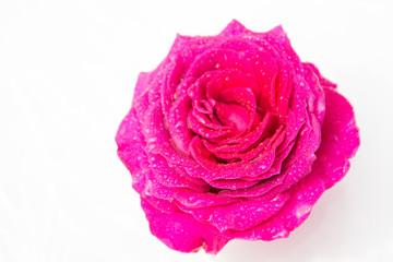 Rose flower. White background.