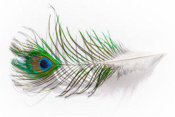 Bird feather peacock closeup isolated on white background