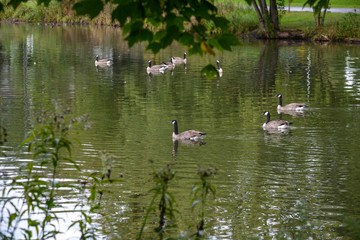 Geese in lake