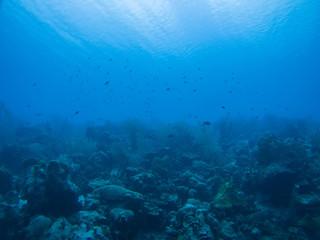 coral life caribbean sea underwater