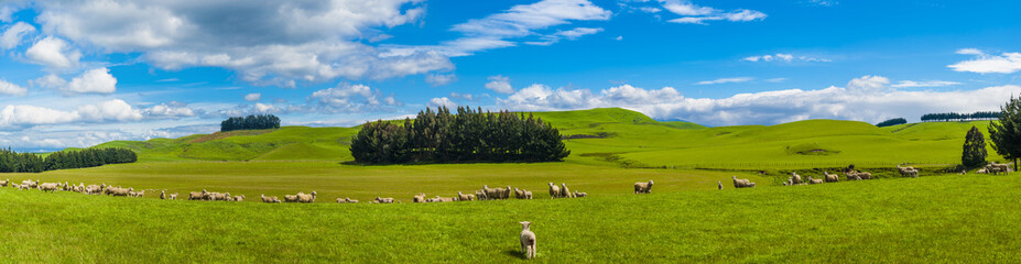 Foto auf Acrylglas Neuseeland Sheep in the New Zealand