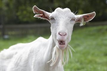 White goat head against A Rural Landscape
