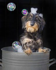 Foto auf Acrylglas Hund puppy bubble bad