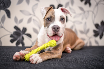 Young Staffordshire terrier puppy