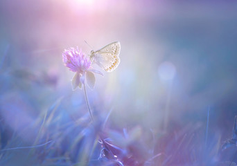 Wall Mural - Gentle exquisite butterfly on a clover flower in spring in the summer glows in the rays of transparent violet light with a soft focus macro. Aerial refined subtle artistic image of nature.