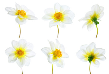 Flowers set of six white dahlias with different  various perspective isolated on white background. Ornamental garden plant flower dahlias close-up macro.