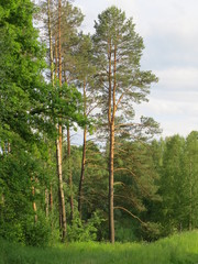 A pine forest. The Nature Of The Bryansk Region. (The Vast Russia! Sergey, Bryansk.)