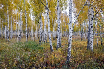 Photo sur Plexiglas Bosquet de bouleaux Осенние берёзы в лесу среди жёлтой травы.
