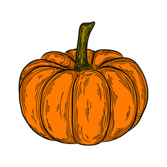 autumn pumpkin colorful hand drawn illustration. icon linear vegetable drawing