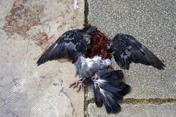 Dead pigeon on an asphalt road.